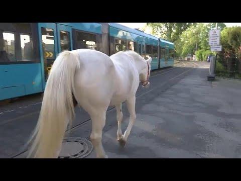 العرب اليوم - شاهد: الخيول العربية تصبح من أشهر سكان فرانكفورت