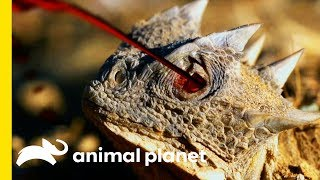 This Small But Mighty Lizard Has An Incredible Defense Mechanism | Little Giants