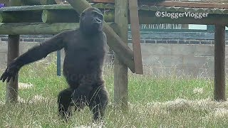 Gorilla Youngster And Baby Brother Show Off Ballerina Moves
