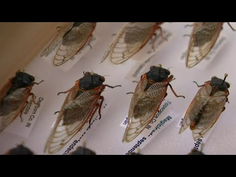 The cicadas are coming: When, where to expect insect invasion