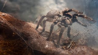 A Giant Unknown Species of Tarantula is Attacking People in the Indian Town of Sadiya