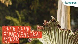 Download 68 Gambar Bunga Bangkai Dan Keterangannya HD Paling Keren