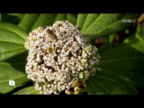 Gartenpflanze des Jahres 2018 - Schneeball