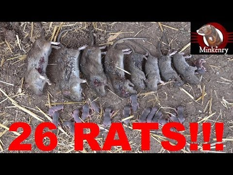 Mink And Dog Catch 26 Rats In A Chicken Coop!