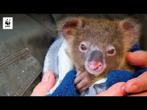 NSW Koala 'strategy' kisses conservation goodbye
