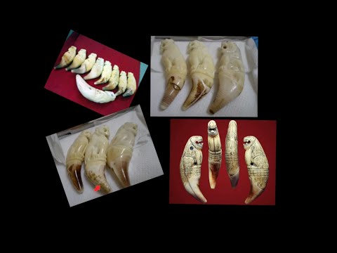 The Difference between Tiger Teeth and Bears Teeth in amulets