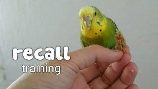 recall | budgie training