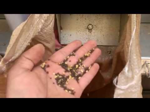 Mustard seeds black Processing