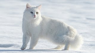 Gambar cover Van kedilerinin popülasyonu arttırılacak