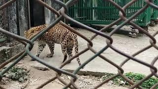 preview picture of video 'South Khairbari Leopard Safari park,Falakata, Alipurduar.'