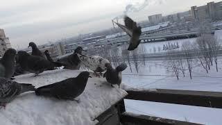Смотреть онлайн Одинокий мужчина кормит голубей на кухне
