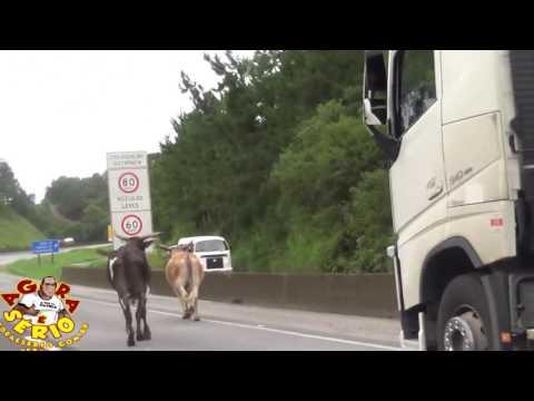 Bois invade a Br 116 e quase causa um acidente