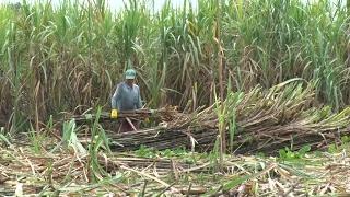 Đồng bằng sông Cửu Long kỳ vọng thành công vào vụ mía - đường