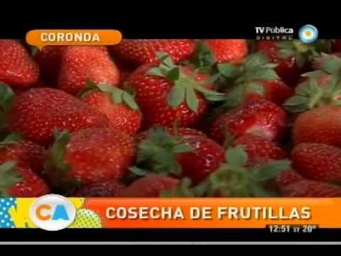 Frutillas: Un clásico de Coronda, Santa fé