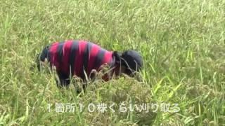 2011 9月 米づくり坪刈り