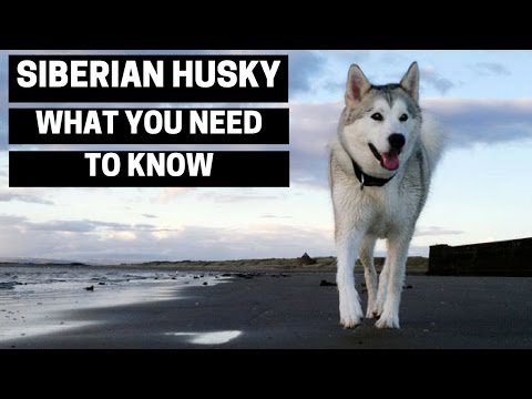 Siberian Husky - Everything You Need To Know About Owning a Siberian Husky Puppy