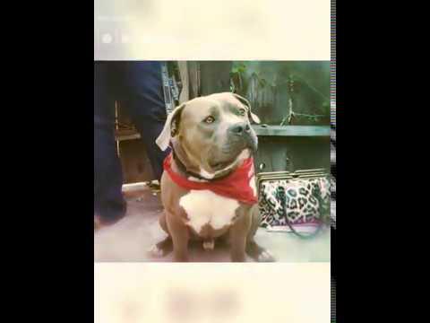 SNUGS, an adoptable American Bulldog & American Staffordshire Terrier Mix in Thousand Oaks, CA_image-1