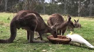 Какаду отжал еду у кенгуру