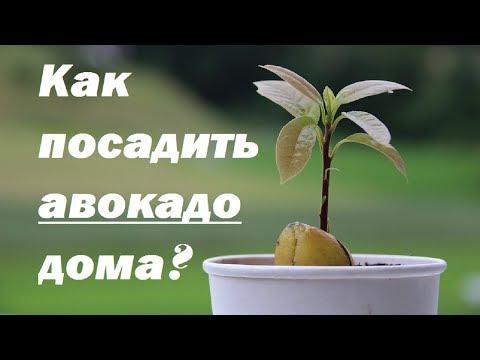 Как вырастить авокадо в домашних условиях / Проращивание косточки авокадо