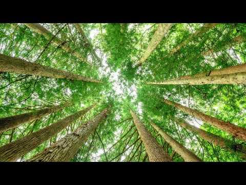 Zedernholzöl - Für Haut, Haar, die Seele und noch viel mehr!