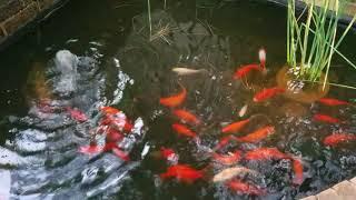 Ah, the peaceful fishpond...