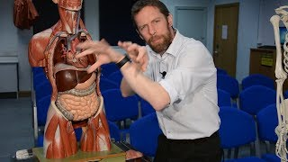 Aorta (anatomy)