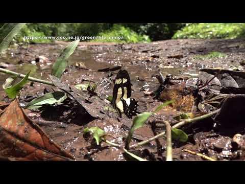 キオビアゲハの飛翔480fps Papilio torquatus