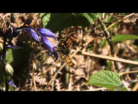 Chequered Skipper nectaring on Bluebell