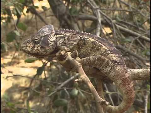 The Chameleons Of Madagascar