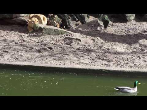 Lwica w zoo upolowała kaczkę...