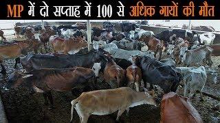 मध्यप्रदेश के राजगढ़ में 100 से अधिक गायों को मौत