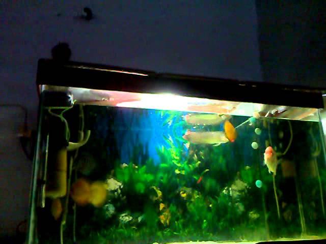 Arowana eating, discus fish...