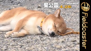mqdefault - 【うとうとの柴犬が可愛すぎる】「柴公園」メイキング