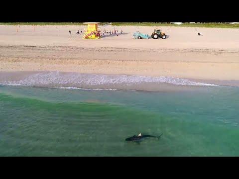 Люди купаются на пляже в Майями рядом с тигровой акулой
