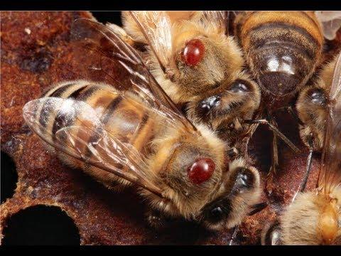 Обработка пчел щавелевой кислотой   Результаты обработки щавелевой кислотой