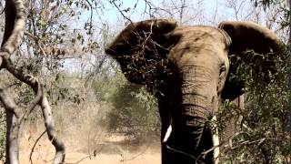how to handle an elephant charging on foot