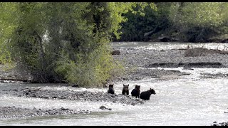 Wildlife Photography-Grizzly 399/4 Cubs 1st successful creek crossing-Jackson Hole/Grand Teton Park