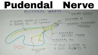 Pudendal Nerve