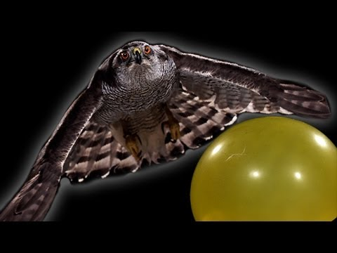 A Hawk Hunting In Slow Motion Will Make You Glad You're Not Its Prey