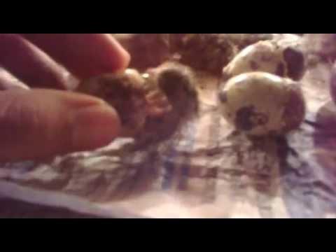 Video Telur puyuh menetas diumur 16 hari