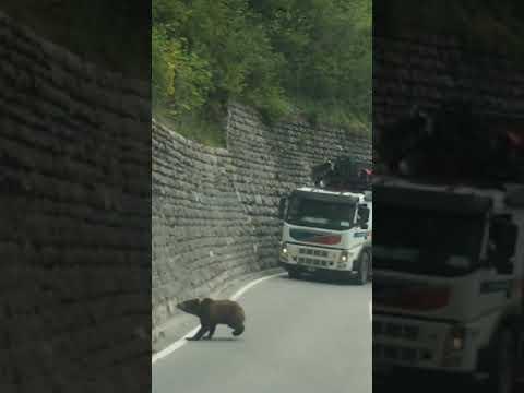 Bärenfamilie überquert Straße