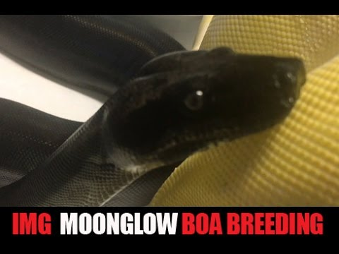 Moonglow Beauty | The Reptile Report