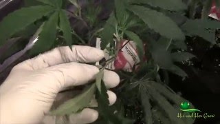 Broad / Russet Mite Part 2 of 2 - What worked for us
