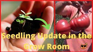 Starting Seeds Indoors  -  (Grow Room)  Seedling Indoor Update  [Growing From Seed]
