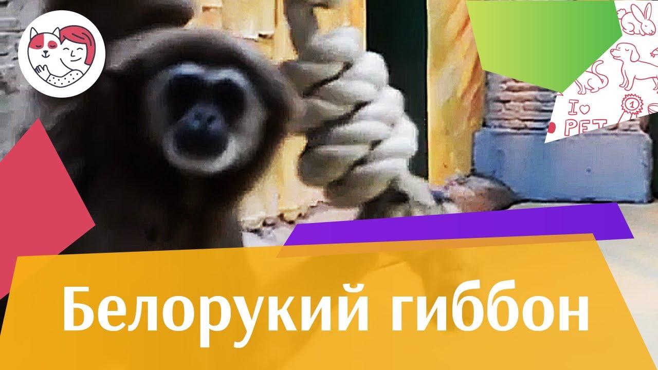 Белорукий гиббон Поведение на ilikepet