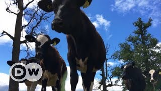 The cost-effective cattle of Los Lagos | DW English