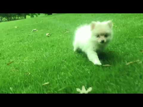 Minka is now ready to become your own beautiful, sweet toy Pomeranian