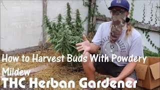 How to Harvest Buds With Powdery Mildew