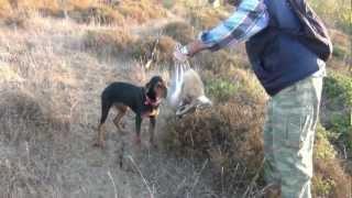 20122013 kopay ile tavşan avı bandırma. hd.rabbit huntingbandırmabalikesir in turkey
