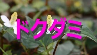 富山散策夏の花「ドクダミ」